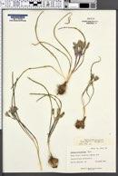 Androstephium breviflorum image