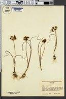Allium macrum image