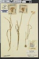 Allium membranaceum image