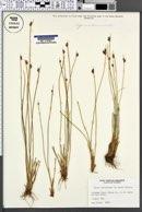 Juncus subtriflorus image