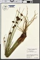 Juncus effusus var. gracilis image