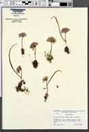 Allium obtusum var. obtusum image