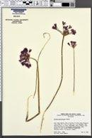 Allium peninsulare image