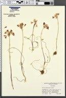 Image of Allium peninsulare