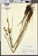 Juncus effusus var. pacificus image