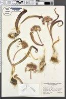 Allium platycaule image