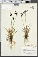 Image of Carex atrofusca