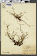Carex abdita image