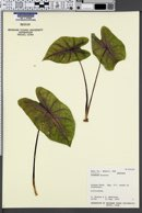 Caladium bicolor image