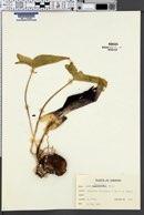 Image of Arum palaestinum