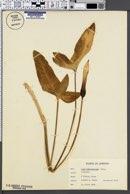 Image of Arum hygrophilum