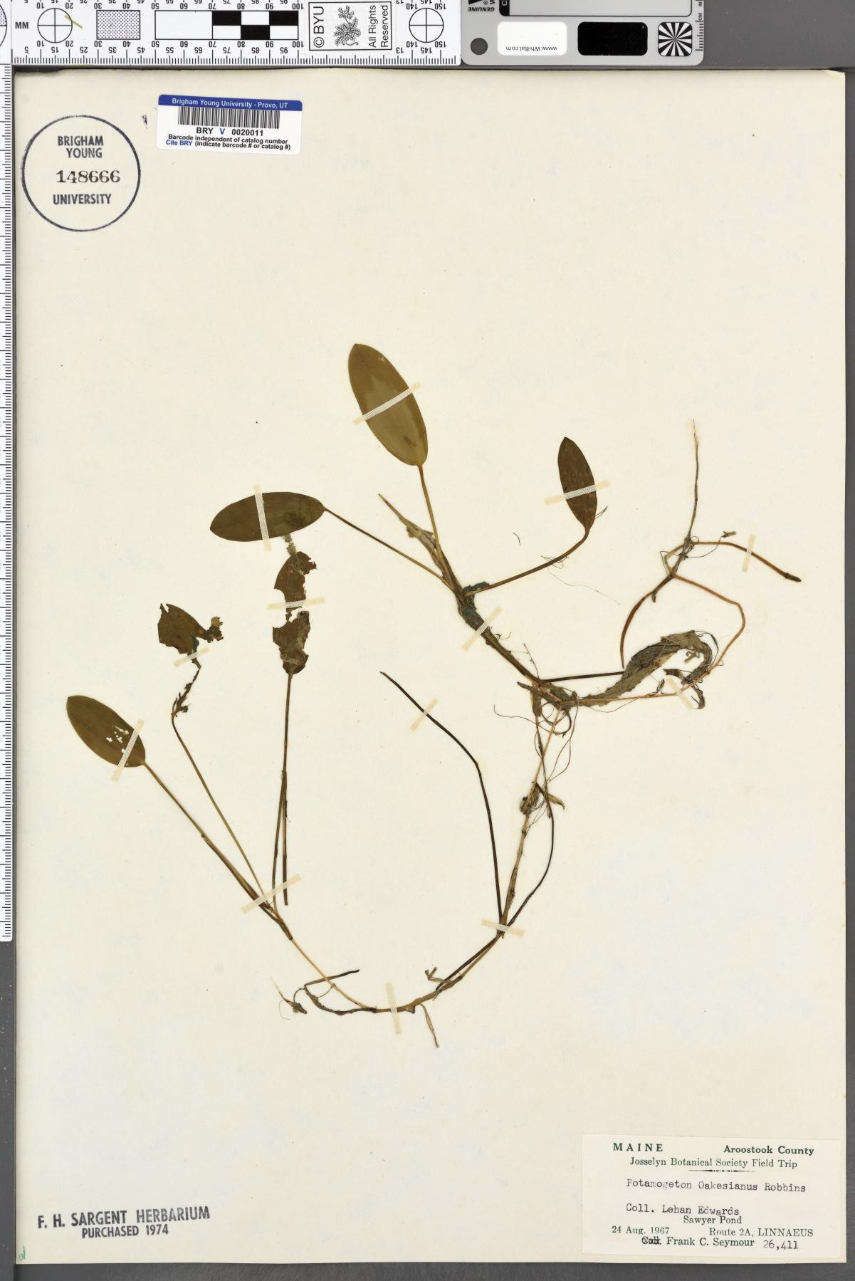 Potamogeton oakesianus image