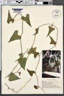 Image of Smilax aristolochiifolia