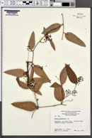 Image of Smilax glycyphylla