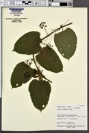 Image of Smilax nipponica