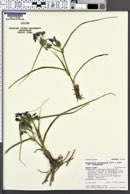 Tradescantia occidentalis var. occidentalis image