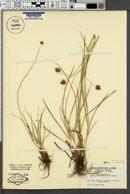 Carex abrupta image