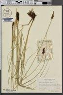 Image of Carex appropinquata
