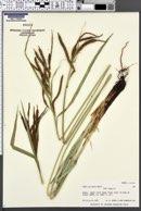 Image of Carex alligata