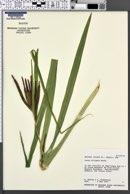 Carex alligata image