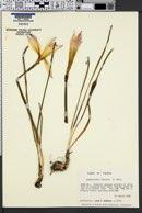 Image of Zephyranthes treatiae