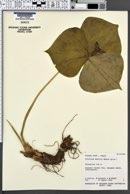 Image of Trillium smallii