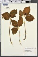 Image of Trillium govanianum