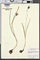 Triteleia grandiflora image