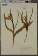 Image of Tulipa montana