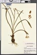 Image of Zigadenus muscitoxicus