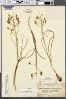 Image of Zigadenus micranthus
