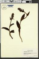 Image of Cephalanthera rubra
