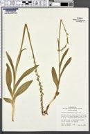 Platanthera hyperborea var. hyperborea image