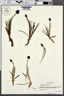 Gymnadenia nigra image