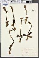 Ophrys lutea image