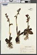 Image of Ophrys umbilicata