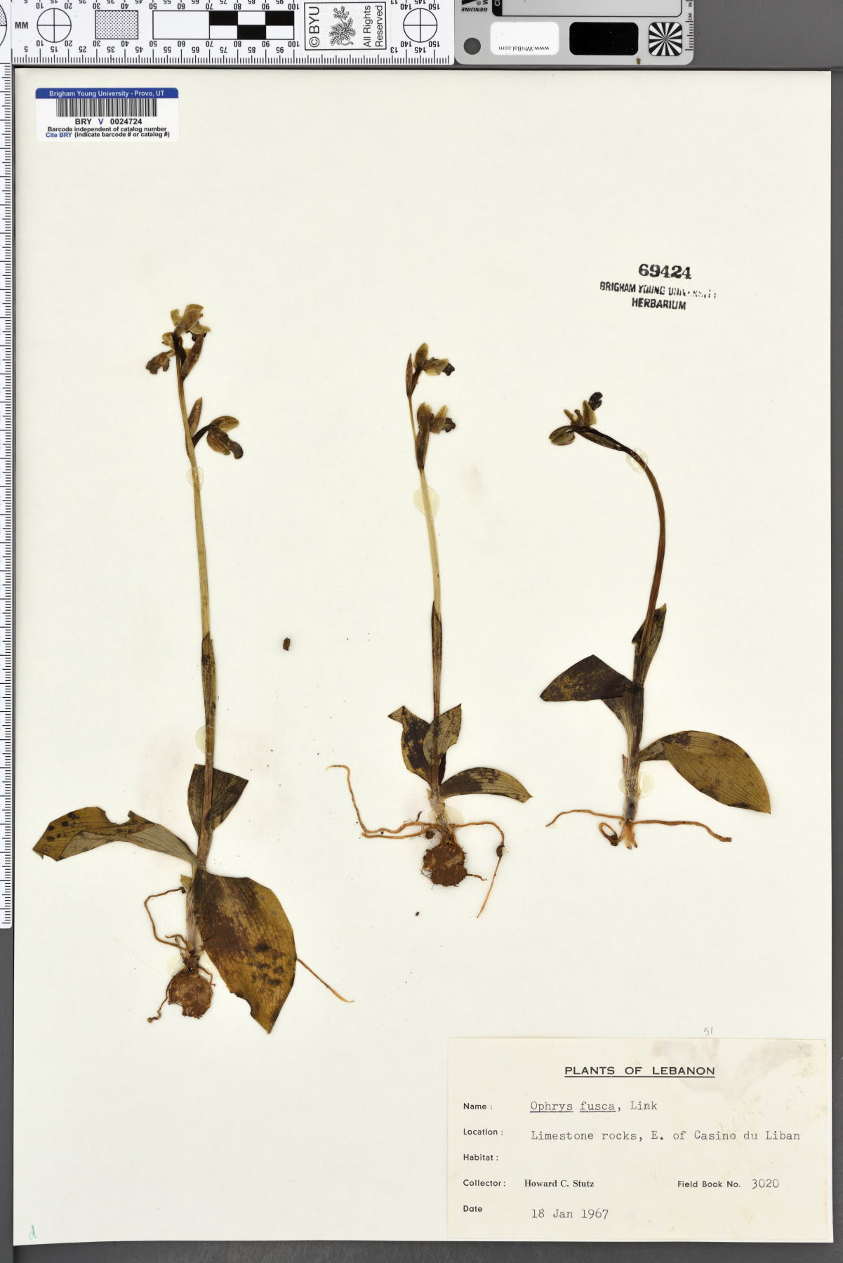Ophrys fusca image