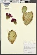 Opuntia aurea image