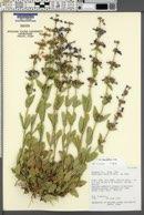 Penstemon humilis var. brevifolius image