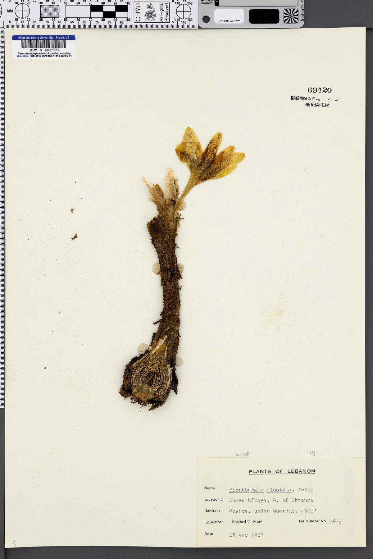 Sternbergia clusiana image