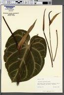Anthurium clarinervium image