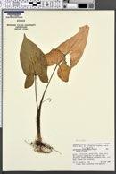 Image of Xanthosoma yucatanense