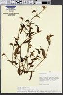 Image of Commelina fasciculata
