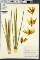 Image of Yucca angustifolia