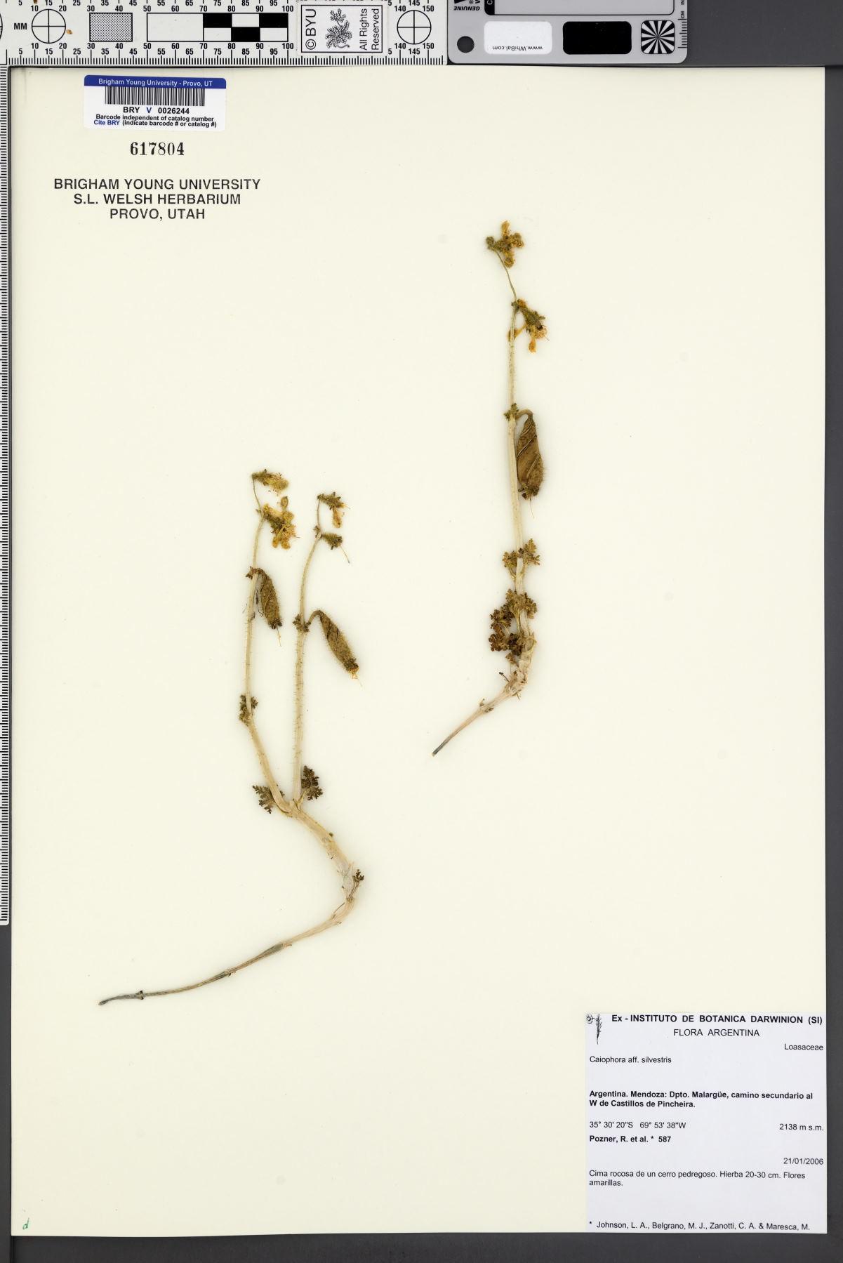 Caiophora silvestris image