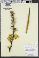 Yucca harrimaniae var. harrimaniae image