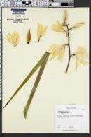 Yucca rigida image