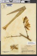 Image of Yucca pallida