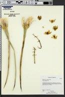 Image of Yucca whipplei