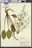 Image of Alisma plantago-aquatica